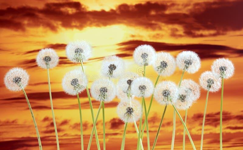 Dandelion kwiat na zmierzchu nieba tle Zmrok - czerwieni chmury, piękny krajobraz w lato sezonie zdjęcia royalty free