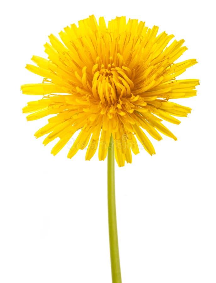 Dandelion kwiat fotografia stock