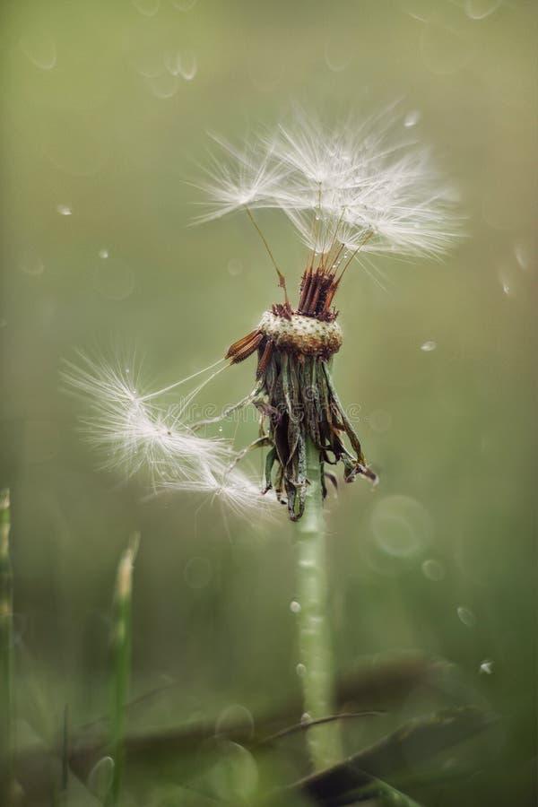 Dandelion kwiat pod podeszczowym tłem zdjęcia royalty free