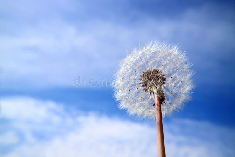 Dandelion kwiat w białym fluff przeciw niebu z chmurami obraz stock