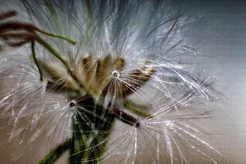 Dandelion kwiat w górę natury fotografia royalty free