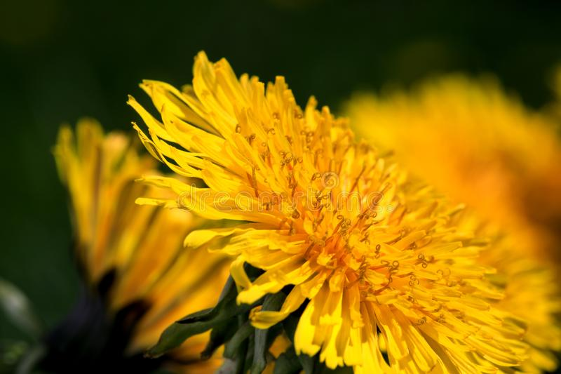 Dandelion kwiat w kluczu makro- fotografia zdjęcia royalty free