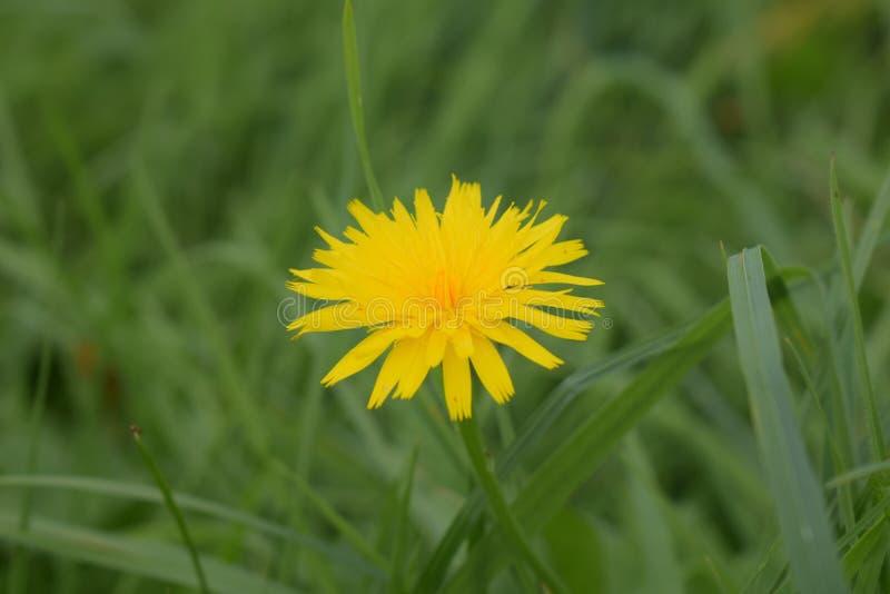 Dandelion kwiat w trawie obraz royalty free