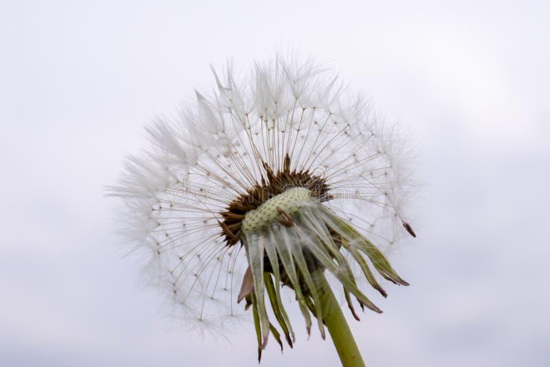 Dandelion kwiat z ziarnami balowymi na szarym nieba tle zdjęcia stock