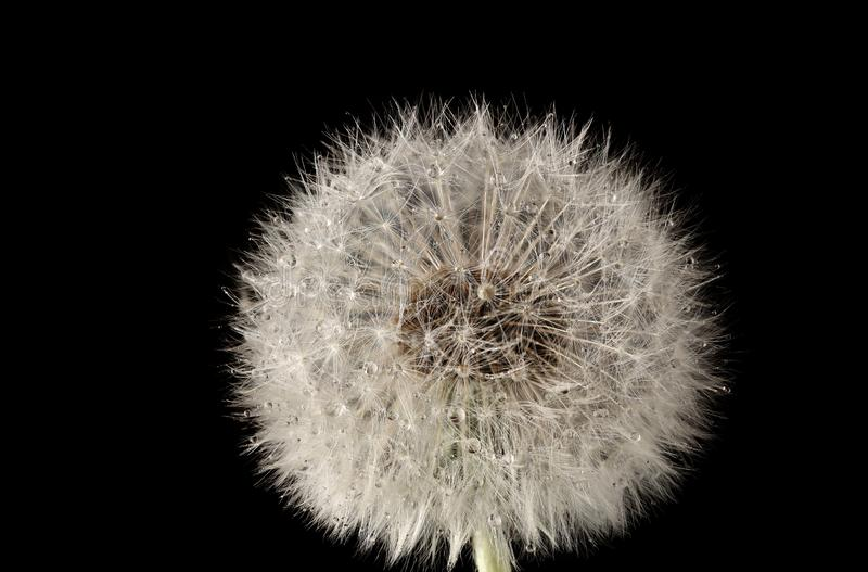 Dandelion kwiat z dandelion ziarnami z wod? opuszcza na czarnym tle z bliska fotografia royalty free
