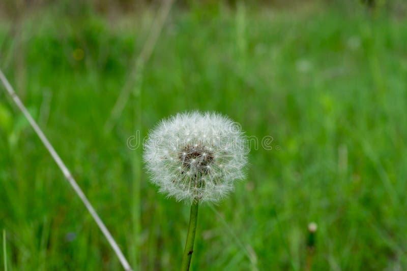Dandelion kwiat z ziarno piłką zamkniętą w górę widoku zdjęcia stock