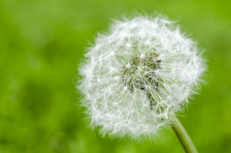 dandelion kwiat z ziarno pi?k? zamkni?t? w g?r? b??kitnego jaskrawego turkusowego t?a horyzontalnego widoku w fotografia royalty free