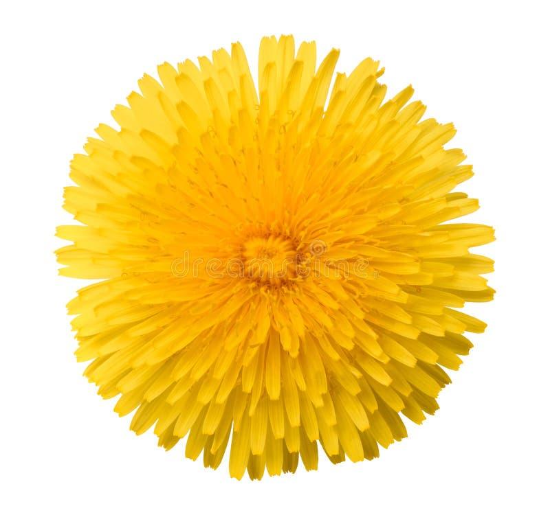 Dandelion kwiatu głowa obrazy royalty free