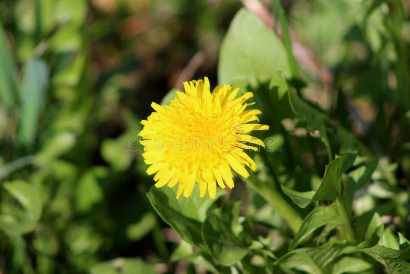 Dandelion kwiatu okwitnięcie na zieleni opuszcza tło obrazy royalty free