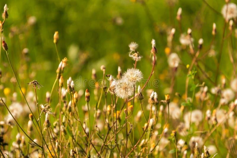 DANDELION kwiatu pole obrazy stock