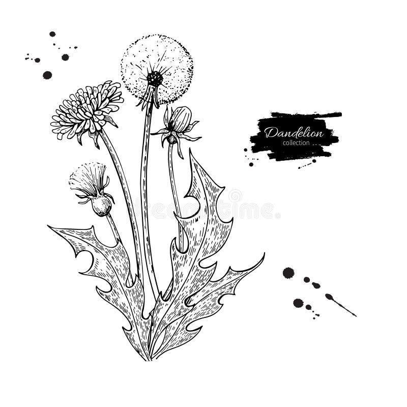Dandelion kwiatu rysunku wektorowy set Odosobniona dzika roślina i liście Ziołowy grawerujący styl royalty ilustracja