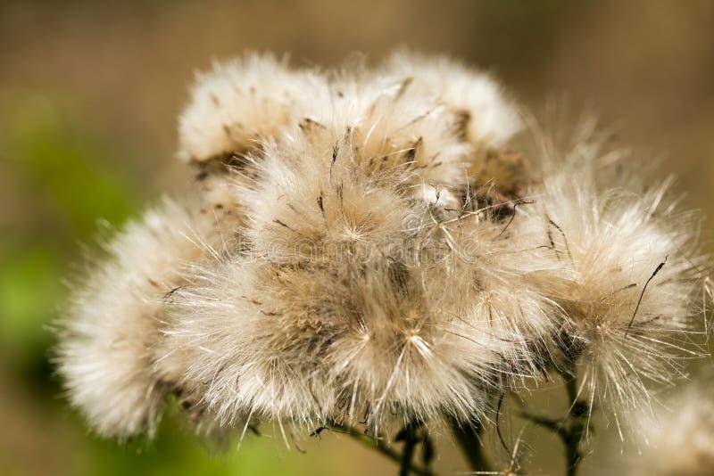 Dandelion kwiatu tła makro- sztuka piękna w wysokiej jakości druków produktach pięćdziesiąt megapixels zdjęcie royalty free