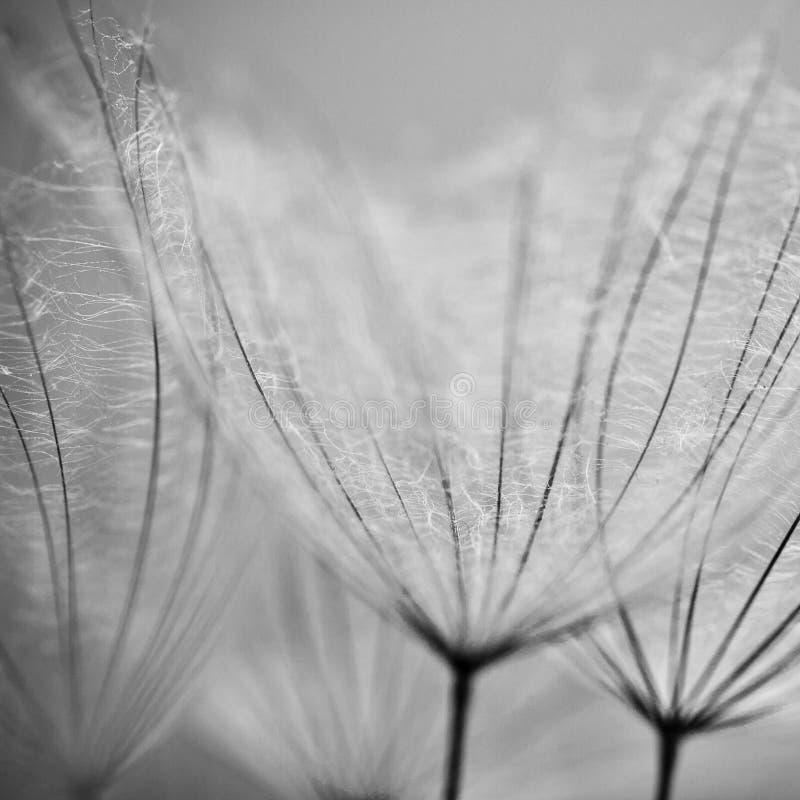 Dandelion kwiatu tło obraz stock