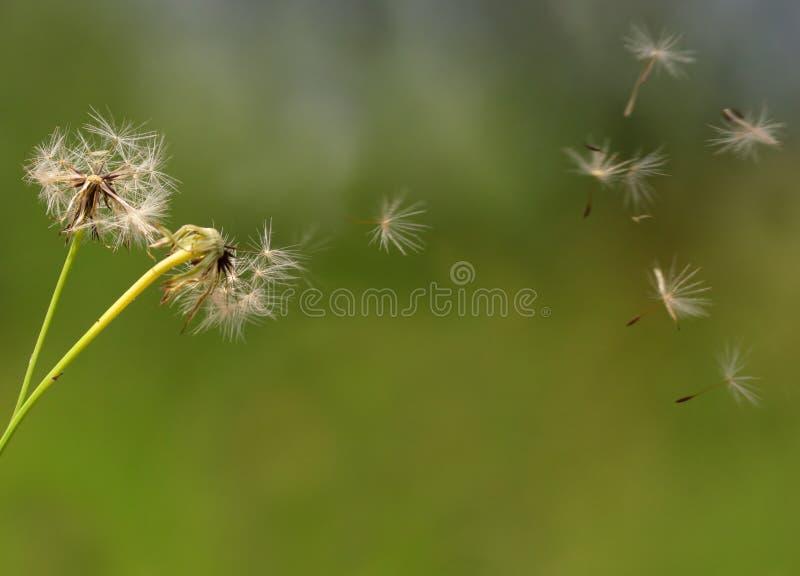 dandelion kwiatu ziarna obrazy stock