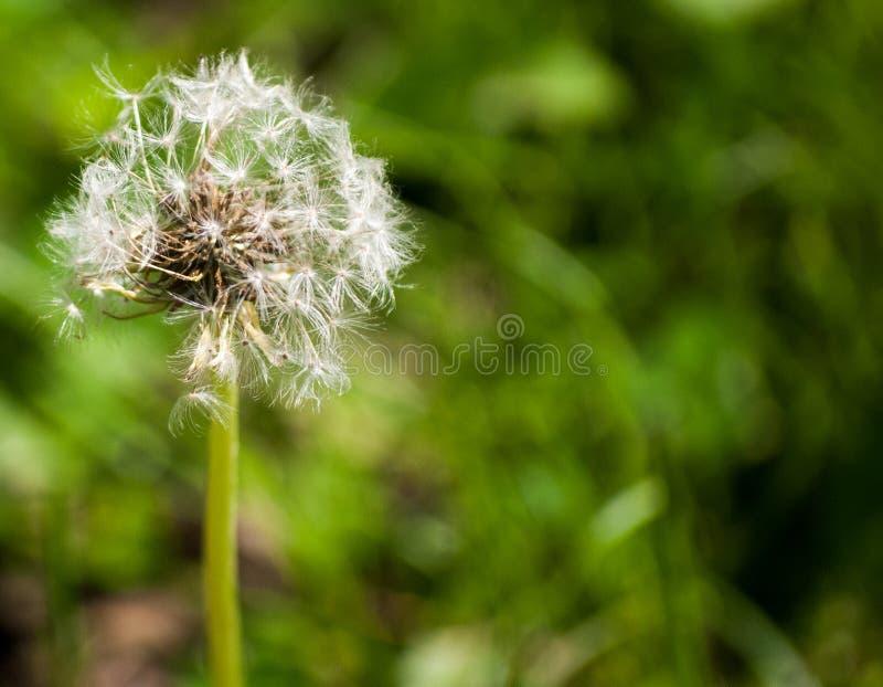 Dandelion kwiatu ziarna balowa Pełna Ramowa Makro- fotografia zdjęcie stock
