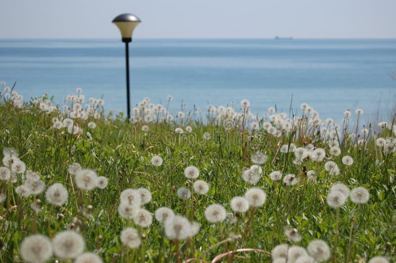 dandelion kwiaty obraz royalty free
