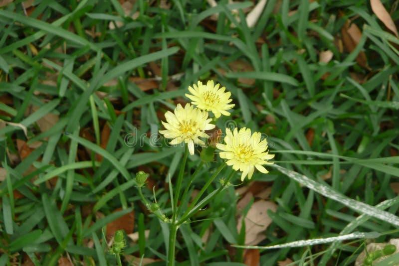 dandelion kwitnie trzy fotografia royalty free