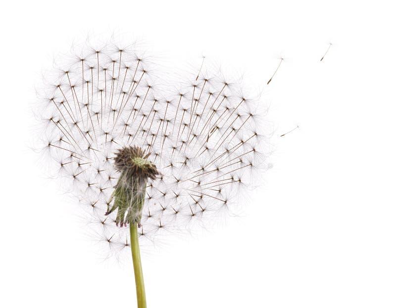 dandelion latający kierowy stary ziaren kształt obrazy stock