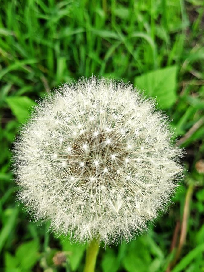 Dandelion on the lawn. Air dandelion on the lawn, pretty flowers royalty free stock photos