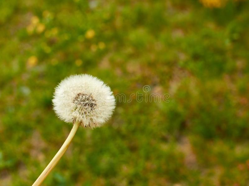 Dandelion and lawn. Blowball of a dandelion against green lawn stock photography