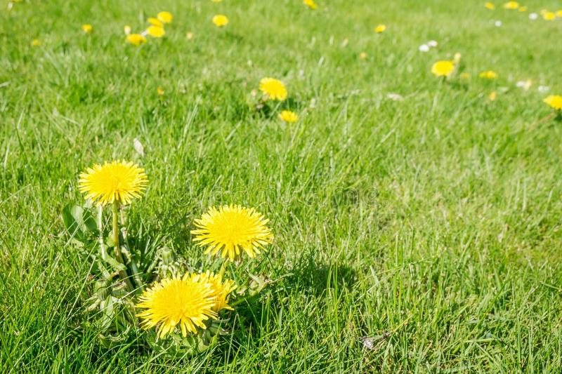 Dandelion in lawn. Close up photo of dandelion flower in a grass lawn stock photos
