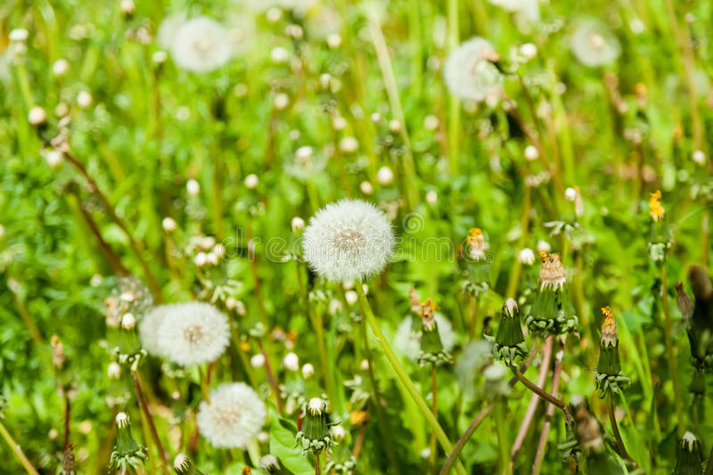 Dandelion on the lawn. Dandelion on a green sunny lawn stock photos