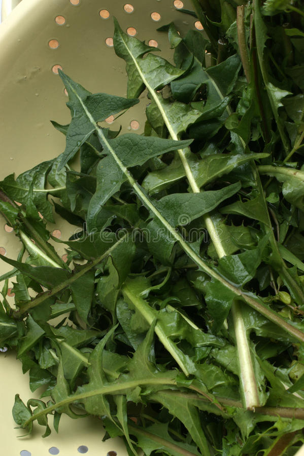 Download Dandelion Leaves Prepared For A Salad Stock Photo - Image: 14389474