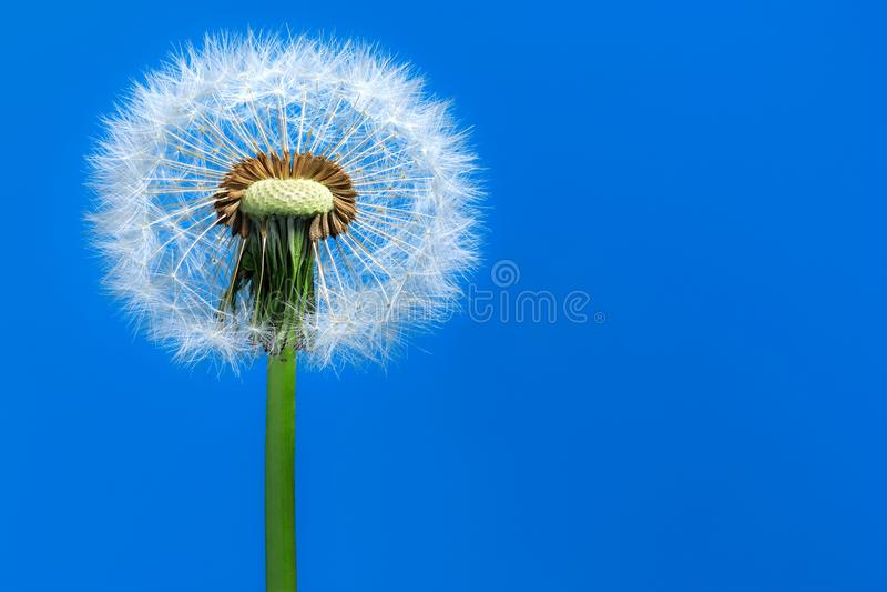 Dandelion. Macro. stock photos