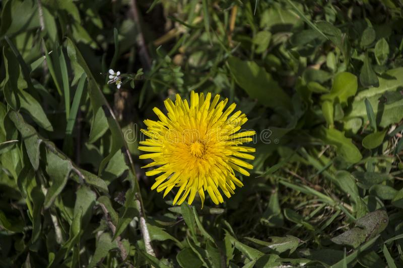 Dandelion Macro close up. Taraxacum is a large genus of flowering plants in the family Asteraceae, which consists of species royalty free stock photography