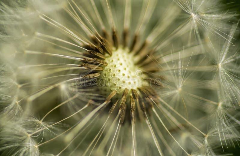 Dandelion macro stock image