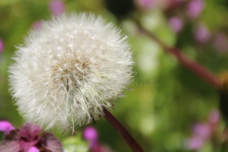 Dandelion in Macro Shot Photography stock image