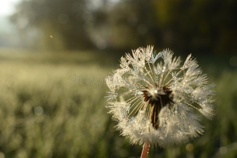 Dandelion in closeup stock photography