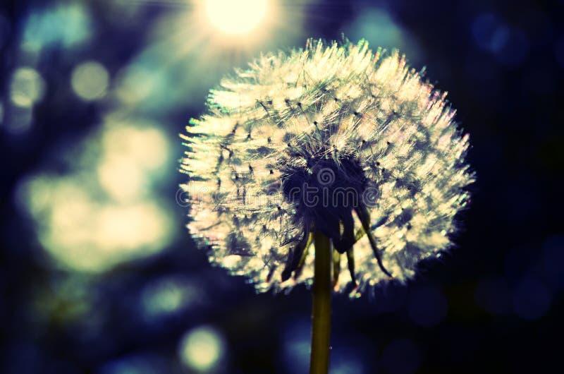 Dandelion - make a wish stock photo