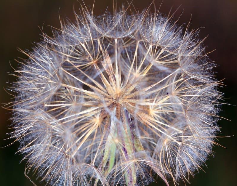 Dandelion makro- zdjęcie royalty free