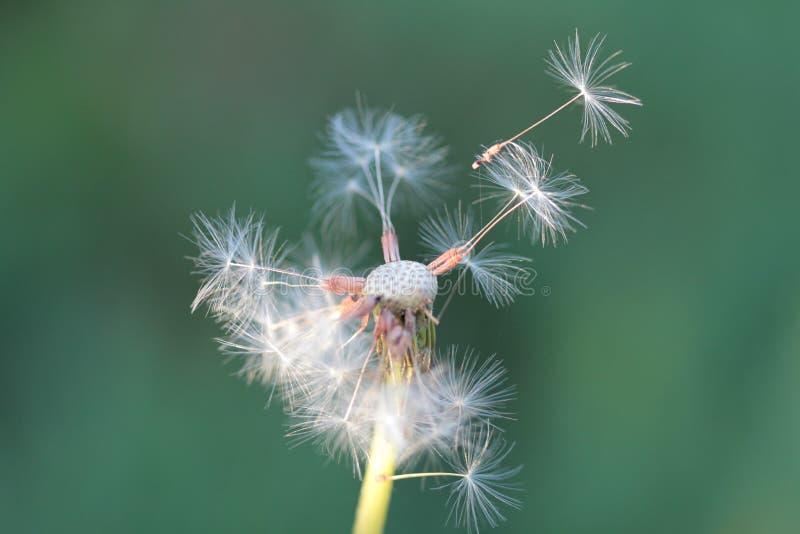 Dandelion, makrofotografia fotografia stock