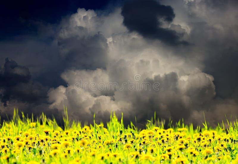 Dandelion meadow. Very dramatic sky over dandelion meadow royalty free stock photos