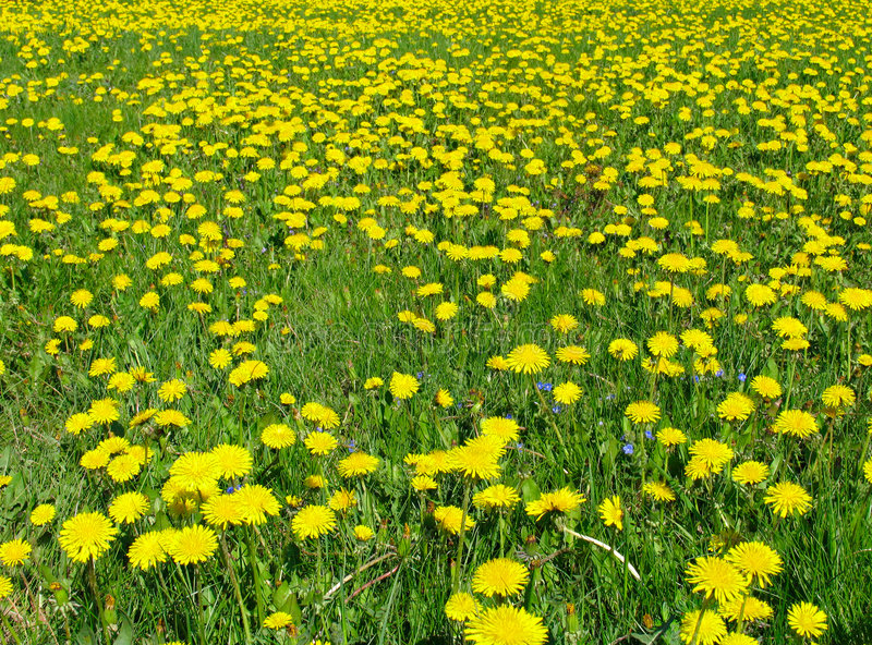 Download Dandelion meadow stock image. Image of growing, daisy, freedom - 466539