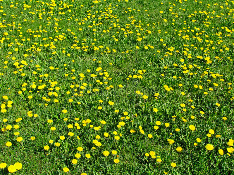 Download Dandelion meadow stock image. Image of ecology, growing - 466609