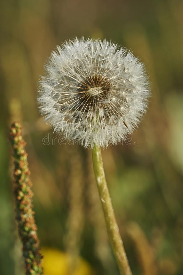 Dandelion in the meadow royalty free stock photos