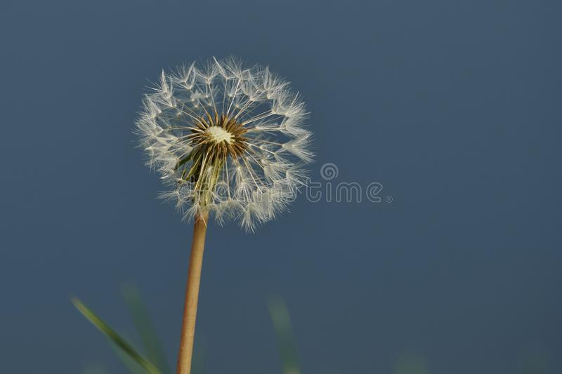 Dandelion in the meadow royalty free stock photography