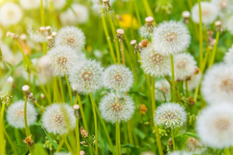 Dandelion in the meadow, blooming flower field, honey color in the grass stock images
