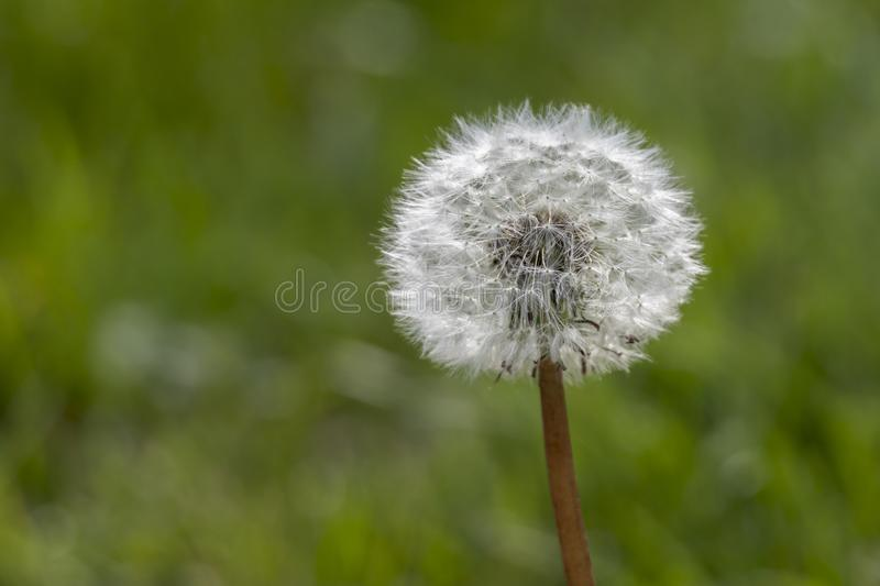 Dandelion in the meadow stock images