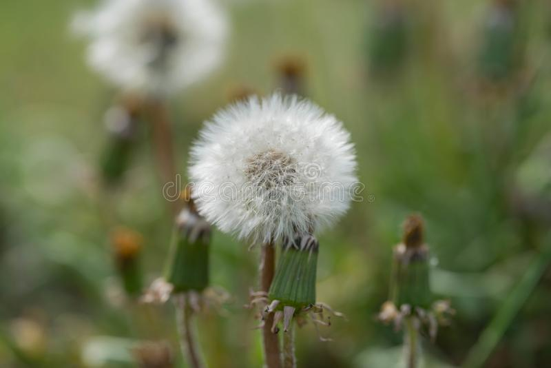 Dandelion on the meadow. royalty free stock photography