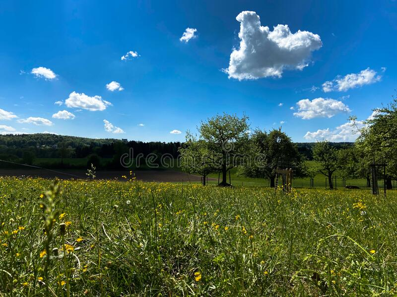 A dandelion meadow. A lush green dandelion meadow on a sunny spring day with some kitschy little clouds royalty free stock photography