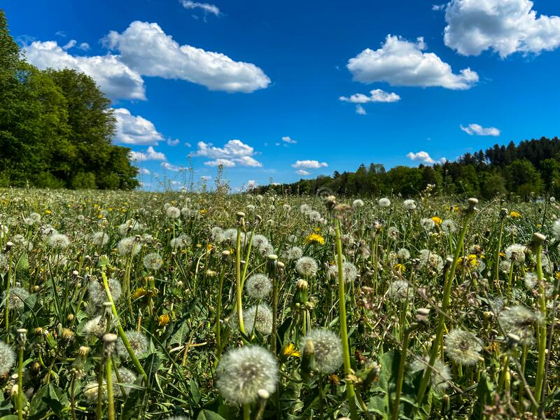 A dandelion meadow. A lush green dandelion meadow on a sunny spring day with some kitschy little clouds royalty free stock photos