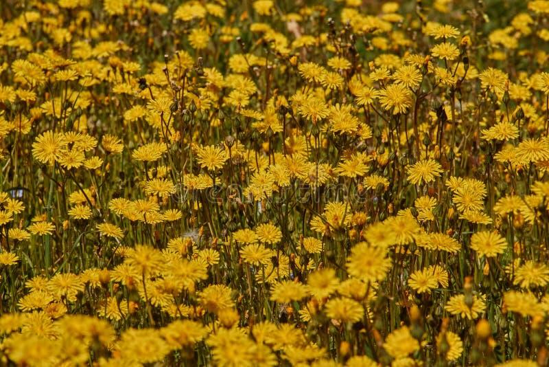 Dandelion meadow in Spain stock photography