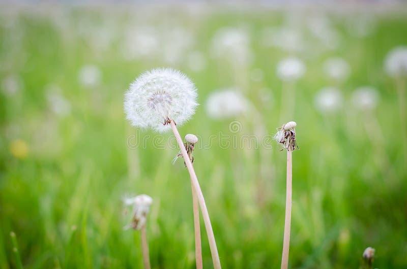 Dandelion in the morning sunlight stock photos