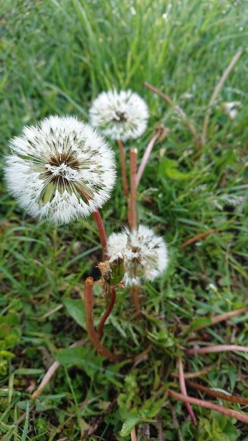 Dandelion in the morning on wet gras stock photos