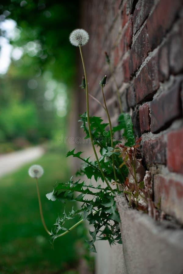 Dandelion na ścianie z cegieł obrazy royalty free