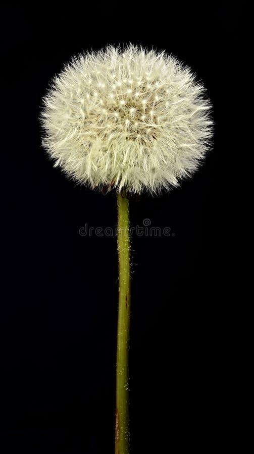 Dandelion na czarnym tle zdjęcie royalty free
